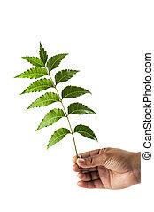 neem, azadirachta, -, mano, hojas, indica, tenencia
