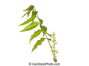 neem, blanco, encima, flor, medicinal, hojas, plano de fondo