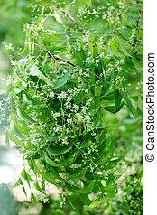 neem, leaves-azadirachta, indica