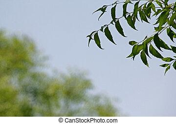 Neem medicinal deja-Azadirachta indica