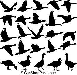 negro, gansos, silueta
