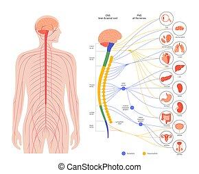 nervioso, autonómico, sistema