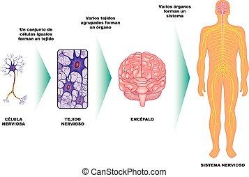 nervioso, -, c?lula, ?rgano, sistema, tejido
