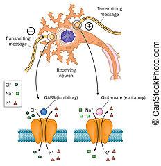 Neurotransmisores involucrados