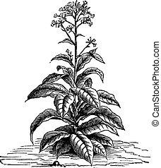 (nicotiana, tabacum), vendimia, tabaco, engraving.