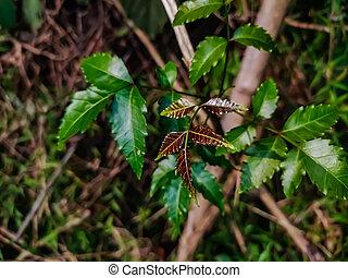 nimtree, especie, comúnmente, él, neem, indica, familia , meliaceae., género, azadirachta, indio, o, árbol, conocido, caoba, dos, subcontinent., azadirachta, uno, lila, nativo