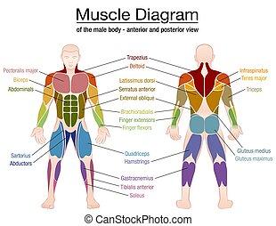 nombres, cuerpo, macho, músculo, diagrama