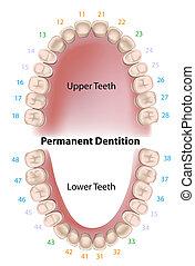 Notación dental de dientes permanentes