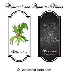 o, bifurcatum, medicinal, ornamental, staghorn, planta, elkhorn, platycerium, helecho