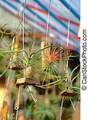 o, branch., airplant, epiphyte, tillandsia, crecer