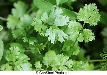 o, hojas, fresco, organically, sativum), crecido, coriander(coriandrum, cilantro