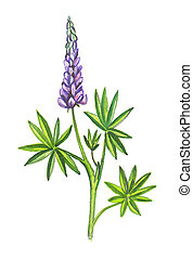 o, lupins, lupines