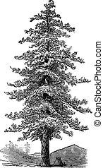 o, pino, (pinus, norteamericano, engraving., ponderosa), amarillo, ponderosa, vendimia, pino