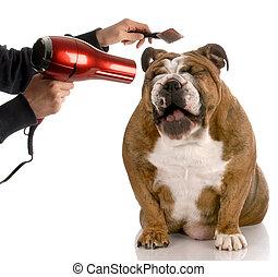 obteniendo, bulldog, -, perro, preparado, ser, mientras, reír, inglés, cepillado