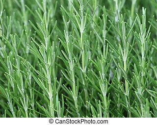 officinalis, hierba, rosmarinus, romero