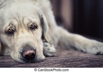 Ojos tristes de gran perro blanco
