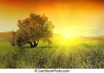 olivo, salida del sol