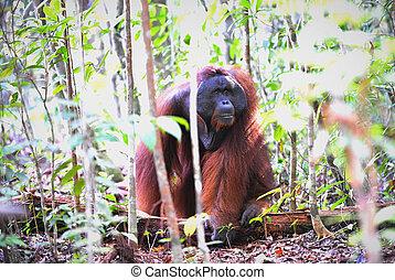 orangutan., adulto masculino