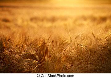 Orejas de campo de trigo en el fondo de la luz del atardecer