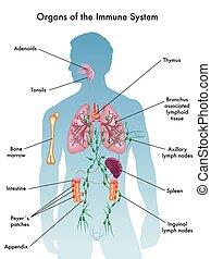 Organes del sistema inmunológico