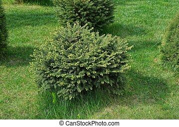 ornamental, redondo, arbusto, uno, conífero
