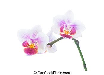 Orquídea aislada en blanco
