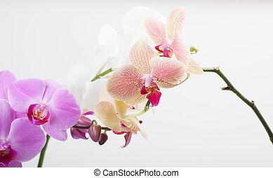 Orquídea, aislada en blanco