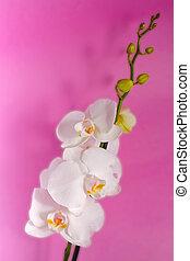 Orquídea blanca en el fondo lila