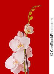 Orquídea blanca en el fondo rojo