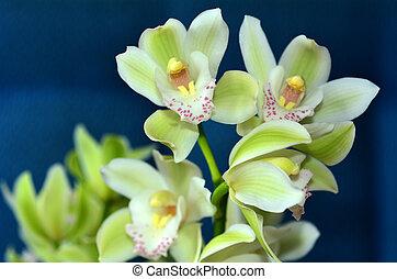 Orquídea de polilla, flor de phalaenopsis