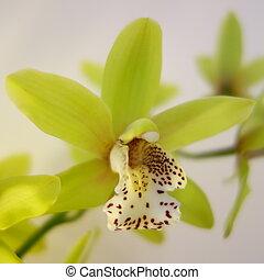 Orquídea de polilla verde
