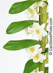 Orquídea dendrobium aislada en el fondo blanco