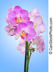 Orquídea rosa de fondo azul