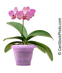 Orquídea rosa en la olla