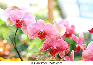orquídea, rosa, (phalaenopsis)