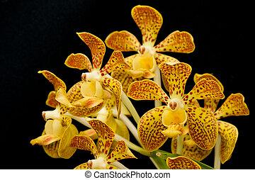 orquídea, vanda, fragante, aislado
