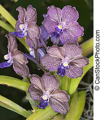 Orquídeas púrpura