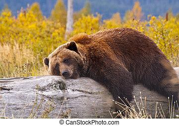 Oso marrón de Alaska 1