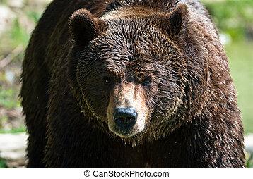 Oso marrón (lat. Ursus arctos.