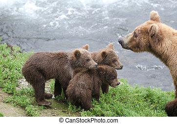 Osos de oso pardos