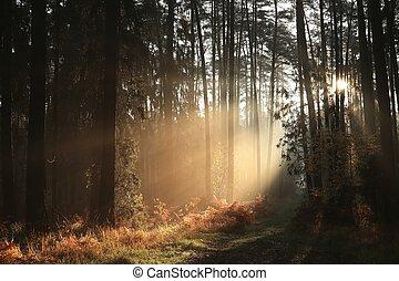 otoño, conífero, salida del sol, bosque