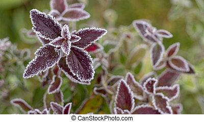 otoño, spiraea, colorido, blanco, frost., brillante, hojas, arbustos