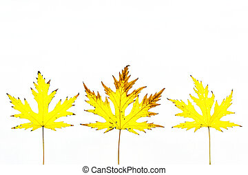 otoño, tres hojas