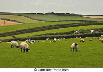 ovejas negras, repolludo