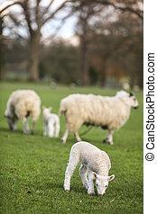 Ovejas y corderos de primavera en un campo