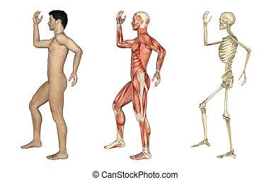 overlays, doblado, pierna, -, anatómico, macho, brazo