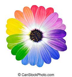 Pétalos coloridos en una flor de margarita aislada