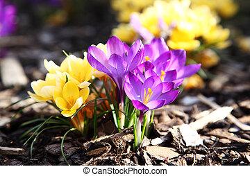 púrpura, amarillo, azafrán