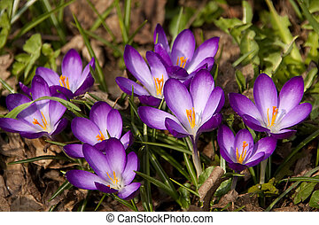 púrpura, flores del resorte, azafrán