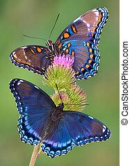 púrpura, mariposas, red-spotted